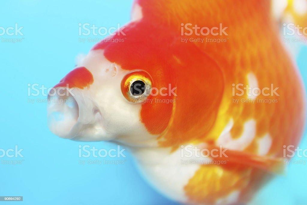 Gasping Fish royalty-free stock photo