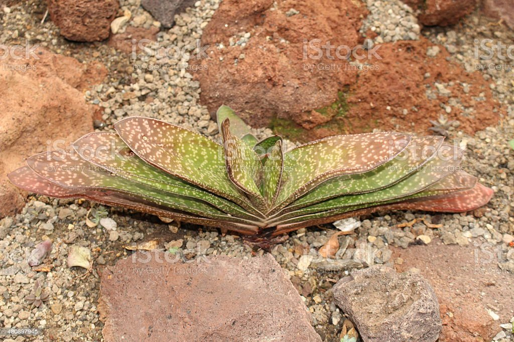 'Gasteria Sulcata' plant stock photo