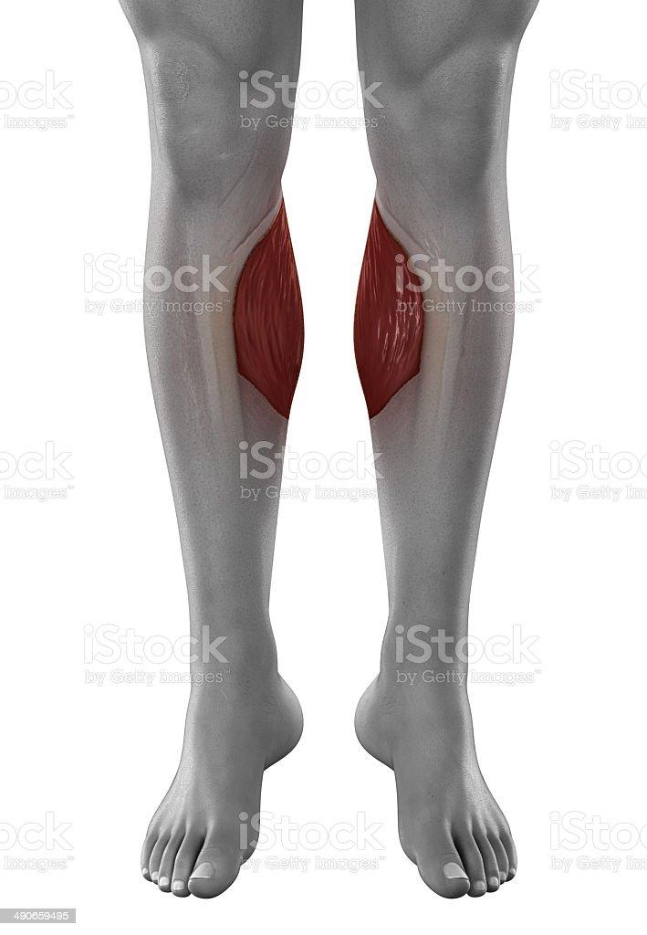Zweiköpfiger Wadenmuskel Männliche Muskeln Anatomie Anterior ...