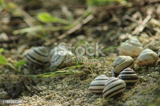 istock Gastropod shell 1163763295