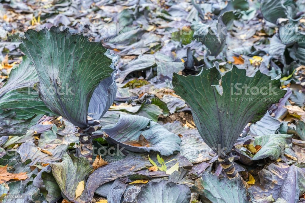 Gathered red cabbage on a field, Germany stock photo