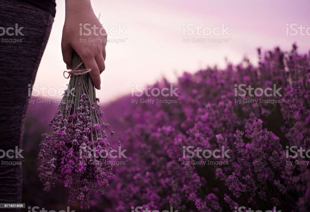 Gathering a bouquet of lavender. Girl hand holding a bouquet of fresh lavender in lavender field. Sun, sun haze, glare. Purple tinting stock photo