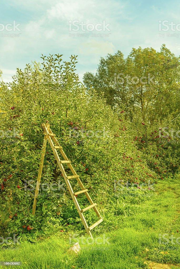 Gathering apples stock photo