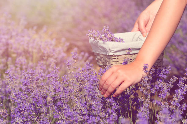 Gathering fresh lavender in a wicker basket. Beautiful girl gather fresh lavender in lavender field. Sun, sun haze, glare. Purple tinting. stock photo