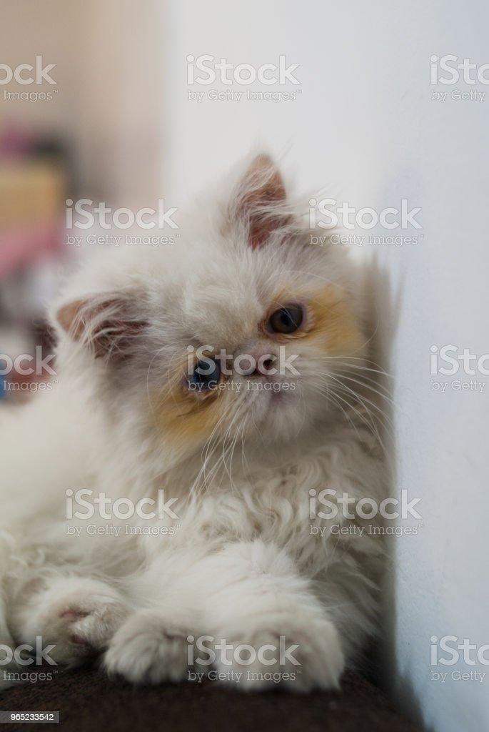 Gato Persa royalty-free stock photo