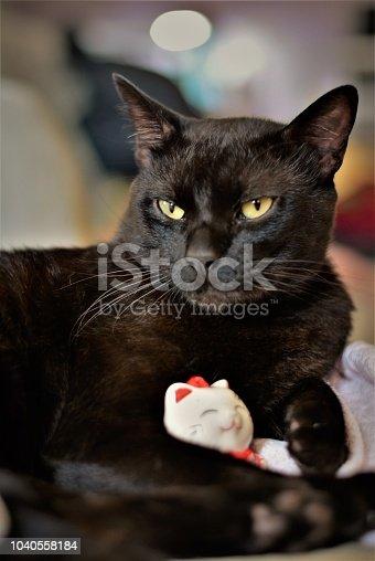 Gato preto bobtail deitado curtindo seus brinquedos