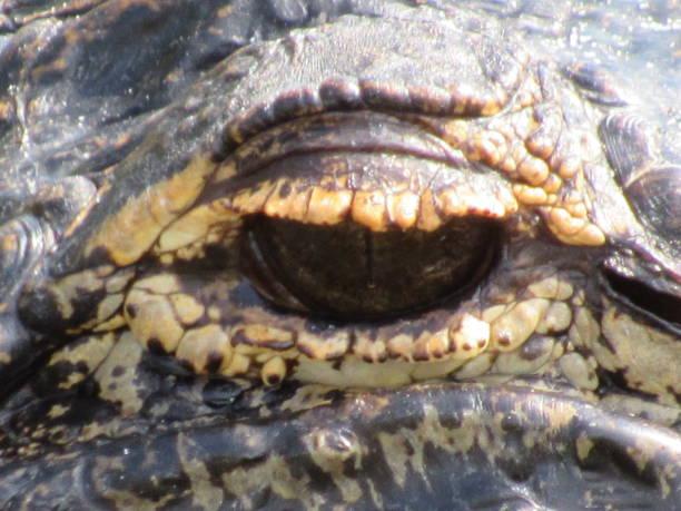 Gator Eye stock photo