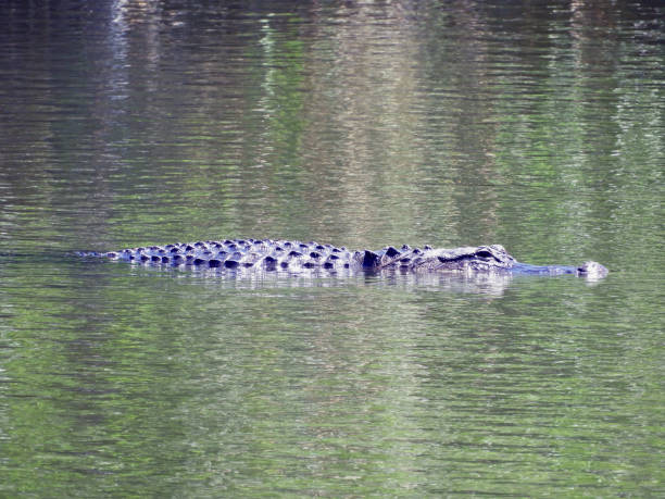 Gator in the Everglades stock photo