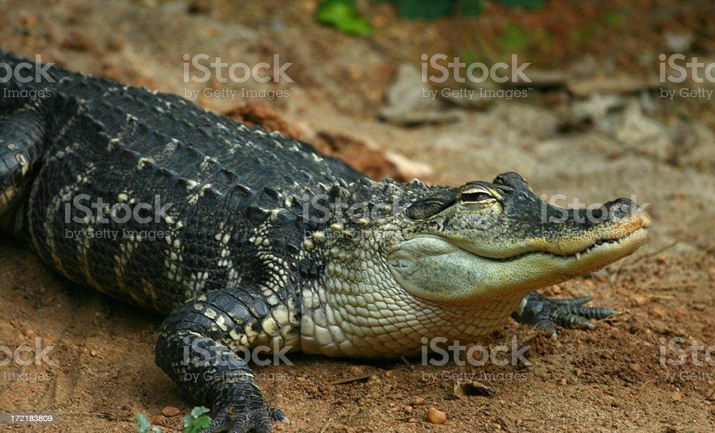 gator royalty-free stock photo