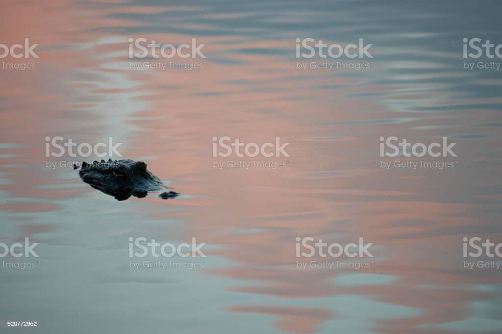 Gator stock photo