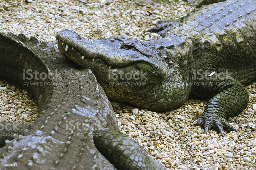 Gator Play royalty-free stock photo