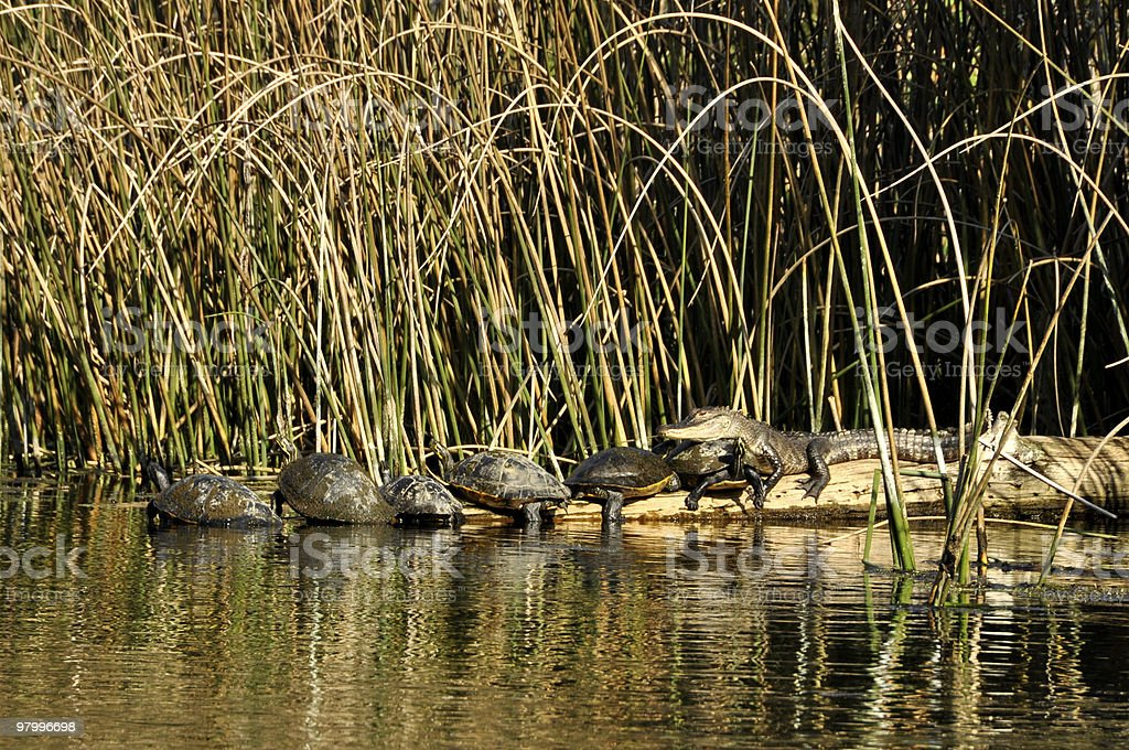 gator resting on a row of turtles royalty-free stock photo
