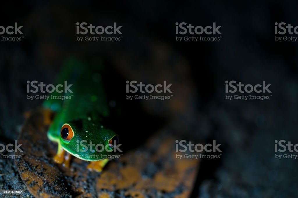 Gaudy leaf Frog in jungle near small town La Fortuna in Costa Rica. royalty-free stock photo