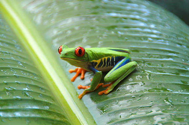 gaudy leaf tree frog #006 - croak stock pictures, royalty-free photos & images
