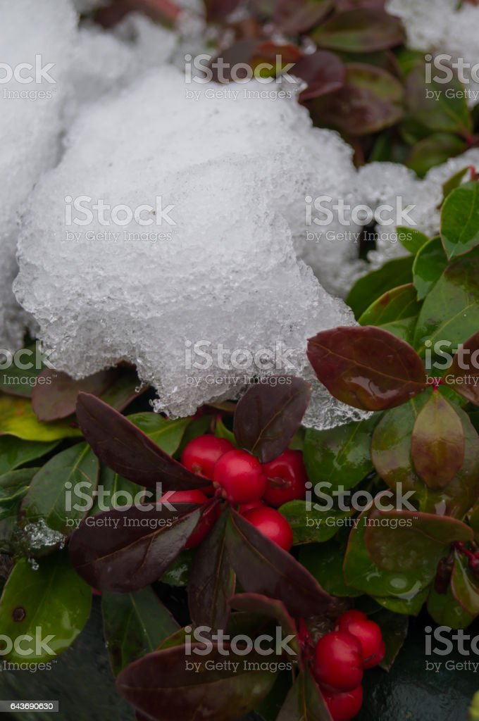Gaultheria in snow stock photo
