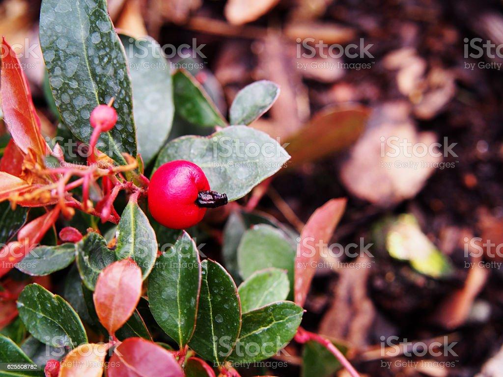 Gaultheria procumbens - eastern teaberry, stock photo