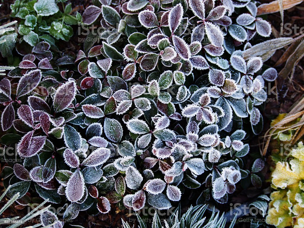 Gaultheria procumbens stock photo