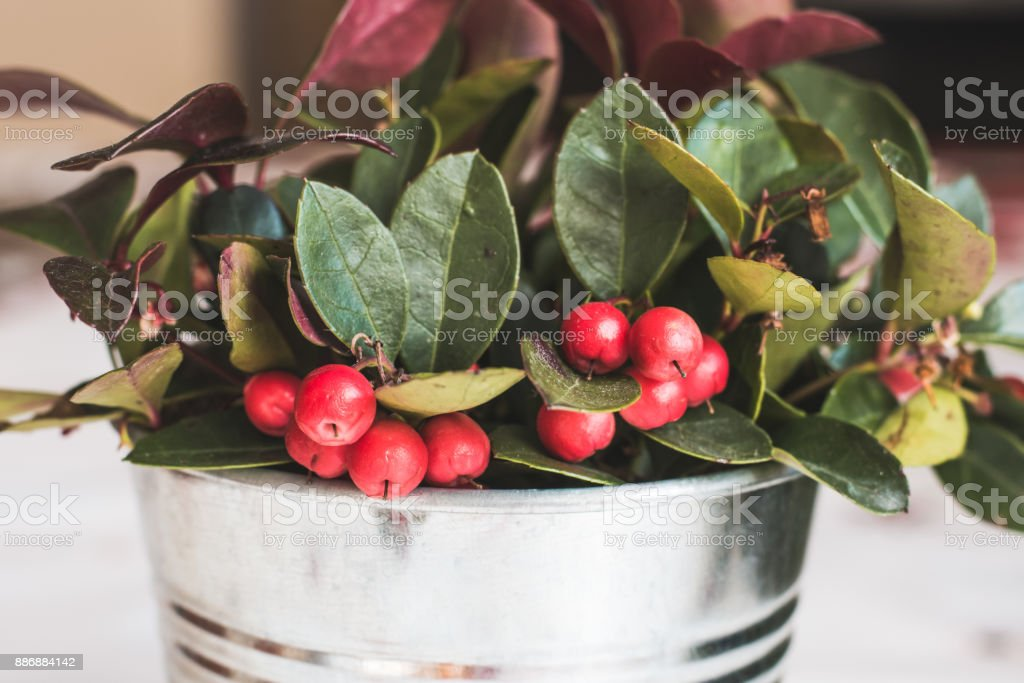 Gaultheria Procumbens - WIntergreen plant stock photo