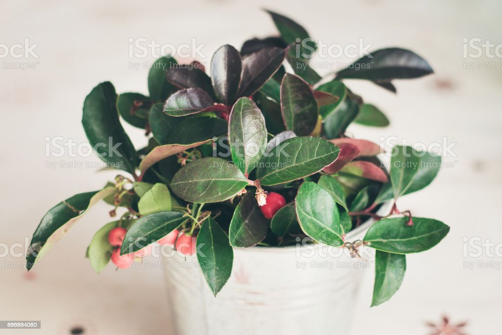 Gaultheria Procumbens - WIntergreen plant with filter effect stock photo