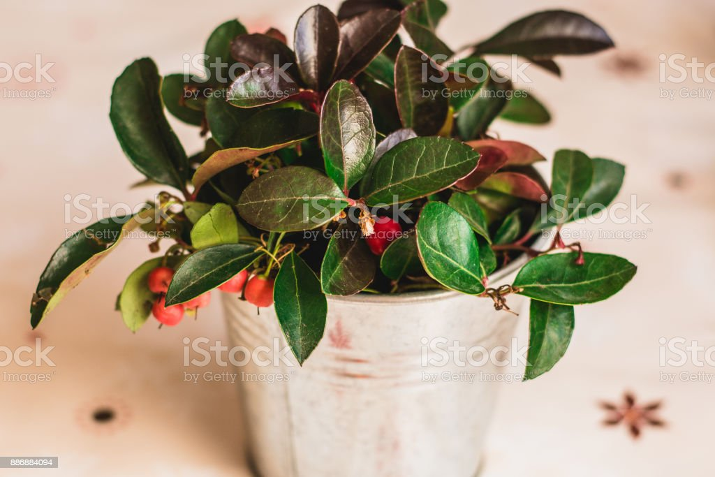 Gaultheria Procumbens - WIntergreen teabearry plant in silver pot stock photo