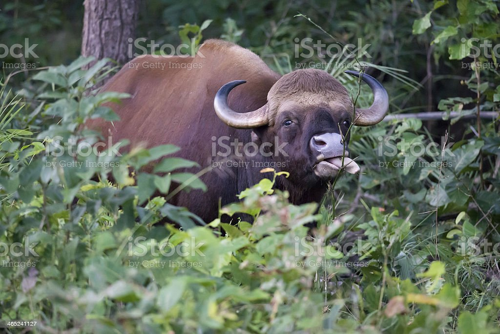 Gaur or Indian Bison royalty-free stock photo
