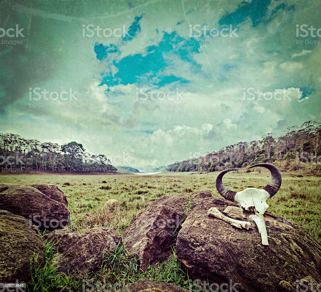 Gaur (Indian bison) skull with horns and bones stock photo