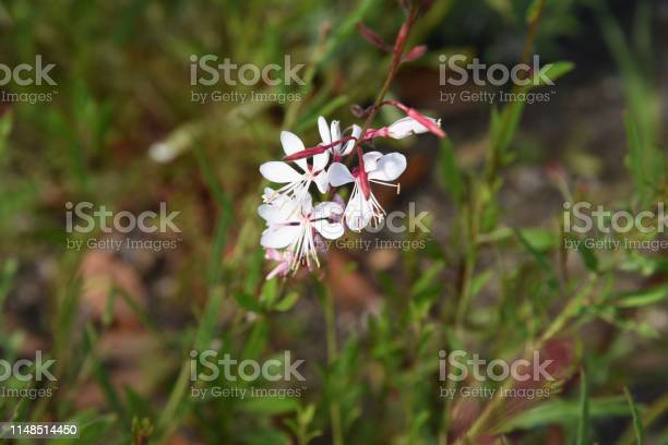 Gaura bee blossom picture id1148514450?b=1&k=6&m=1148514450&s=612x612&h= i0r kgf01hy0r6ig5txhz3t0sstx0rrgbbnnsfwtba=