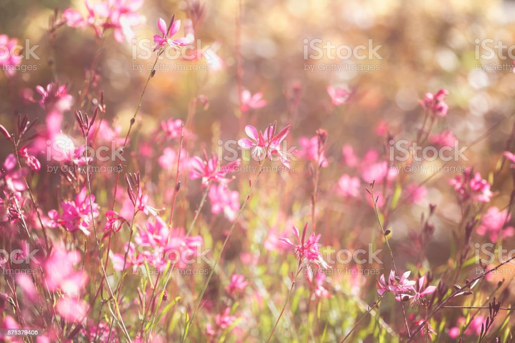 Gaura Lindheimeri Perennial Pink Flowers In Soft And Dreamy Bokeh