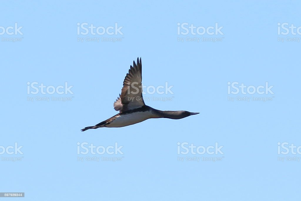 Gavia arctica. Black-throated diver against the sky foto royalty-free