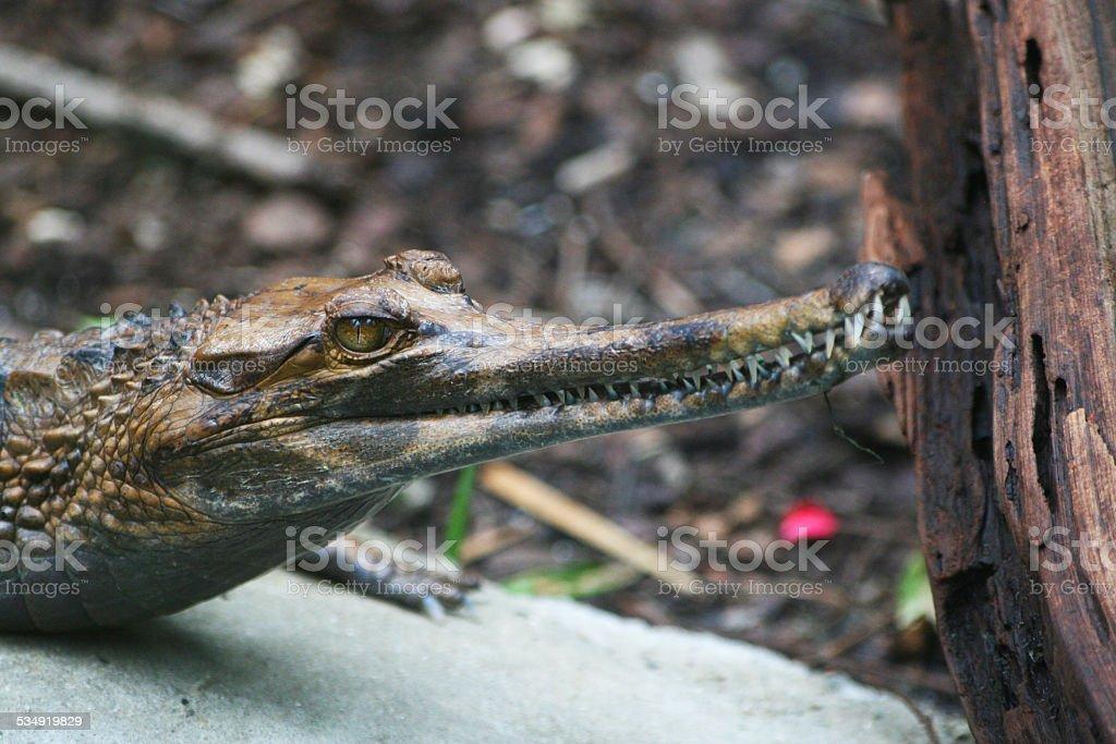 Gavialkopf Alligator – Foto