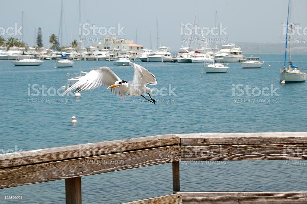 Gaviota flying at La Guancha, Ponce. stock photo