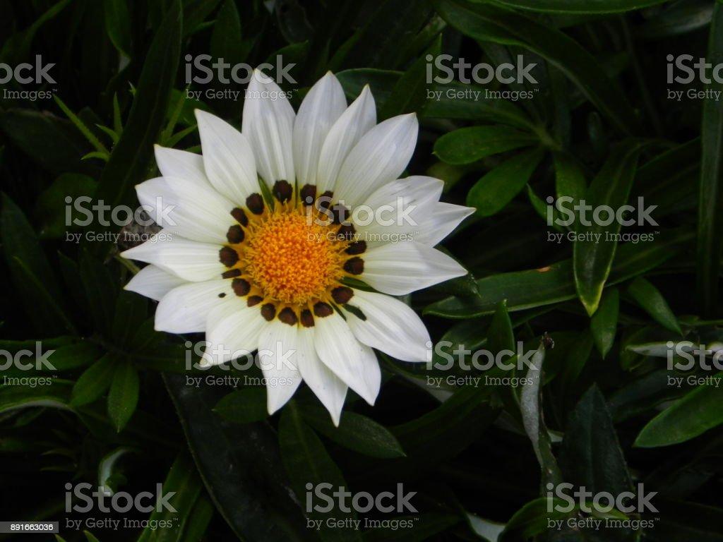 gazania flower stock photo