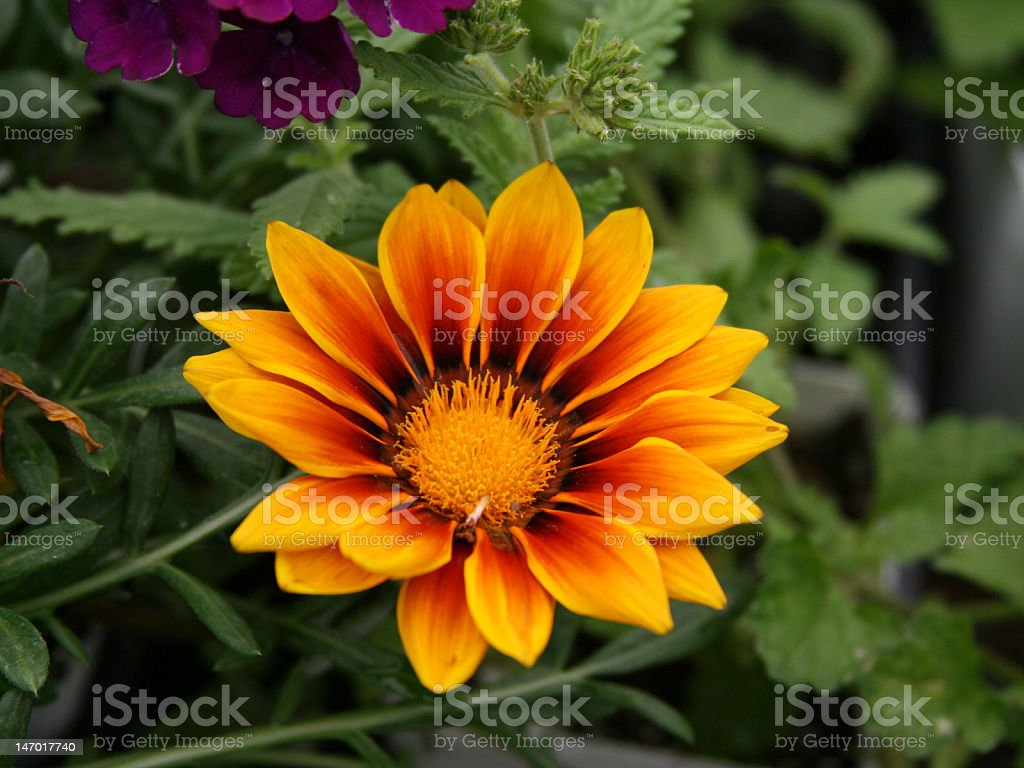 Gazania Orange and Yellow Flower stock photo