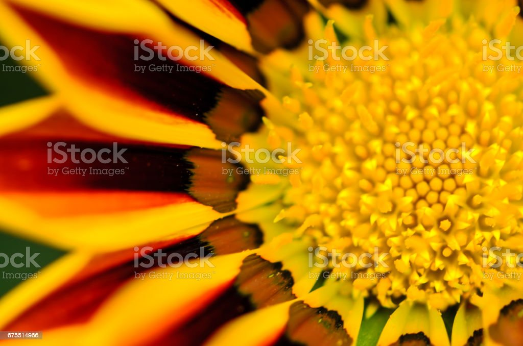 Gazania Splendens fleur photo libre de droits