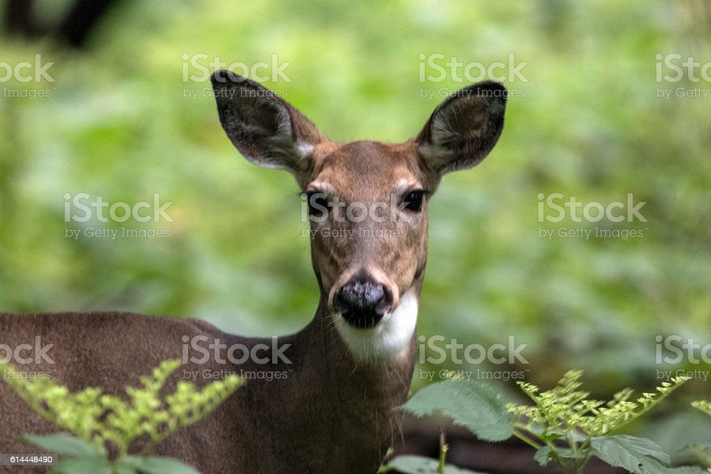 Gaze of a doe stock photo