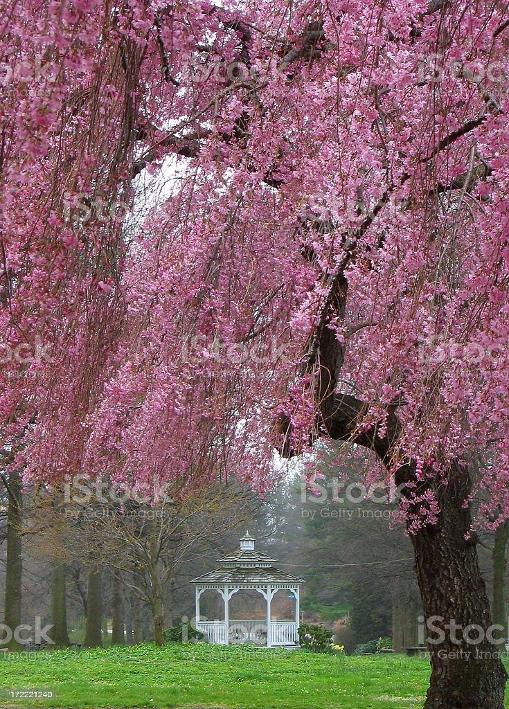 Fotografía de Gazebo Enmarcado Por árbol De Cerezo En Flor Sakura En ...
