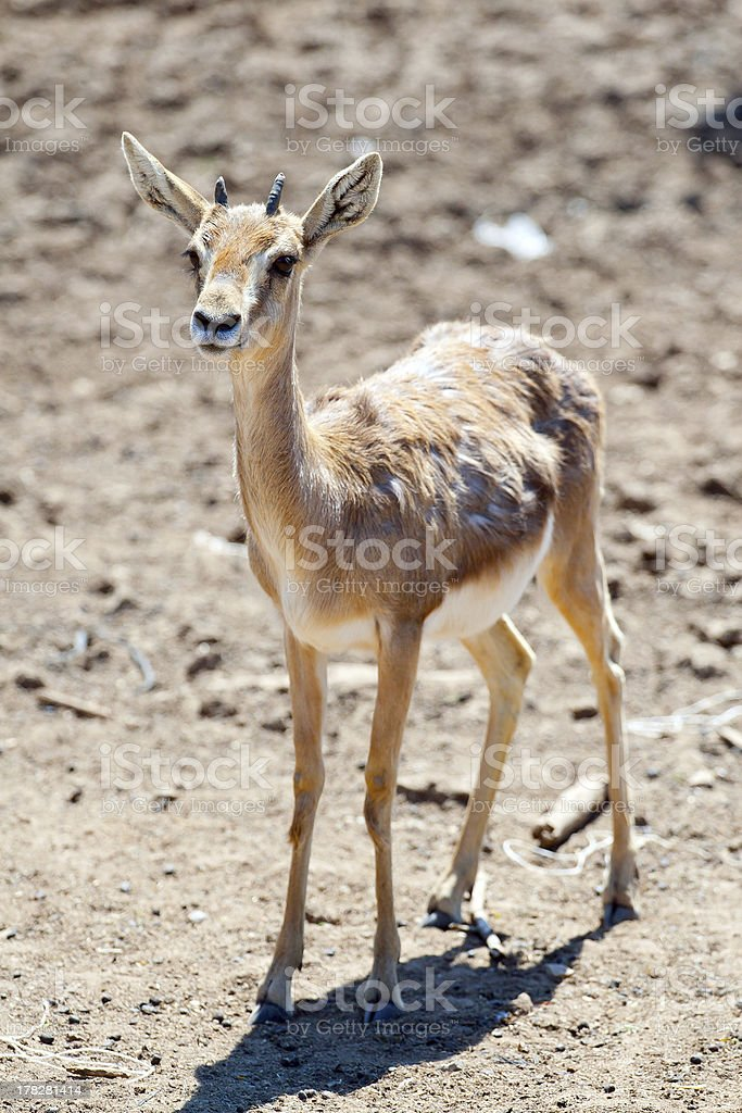 Gazelle Baby Stock Photo - Download Image Now - iStock