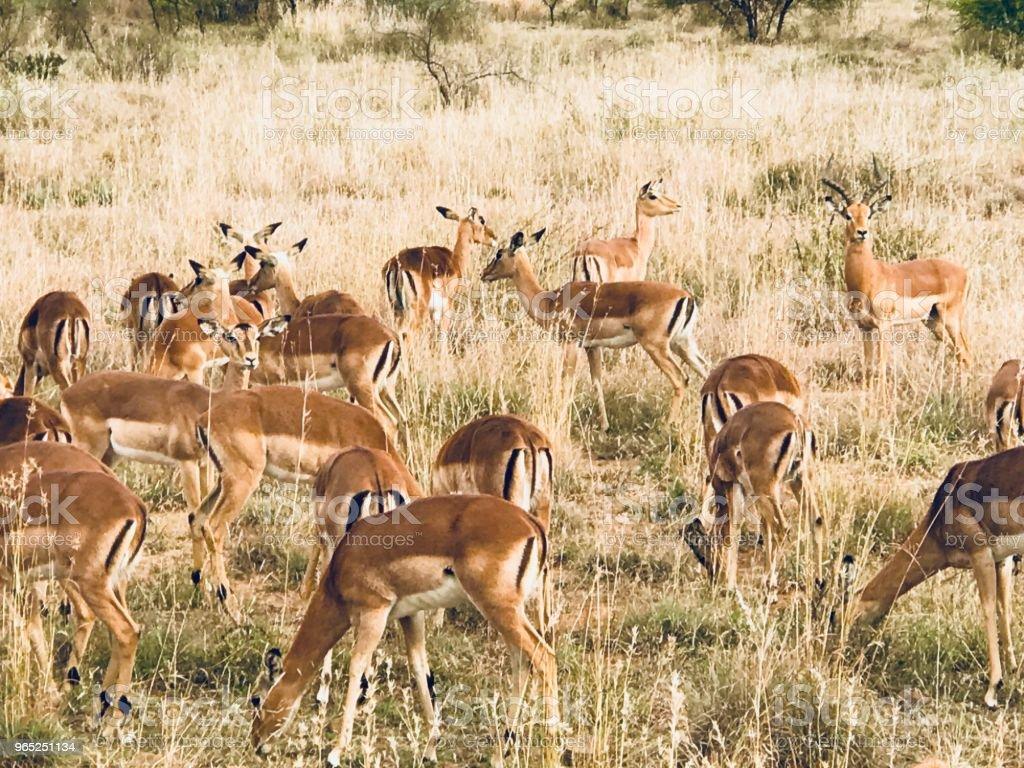 Gazelle Harem zbiór zdjęć royalty-free