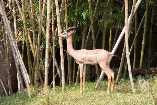 Gazelle in Bamboo Thicket