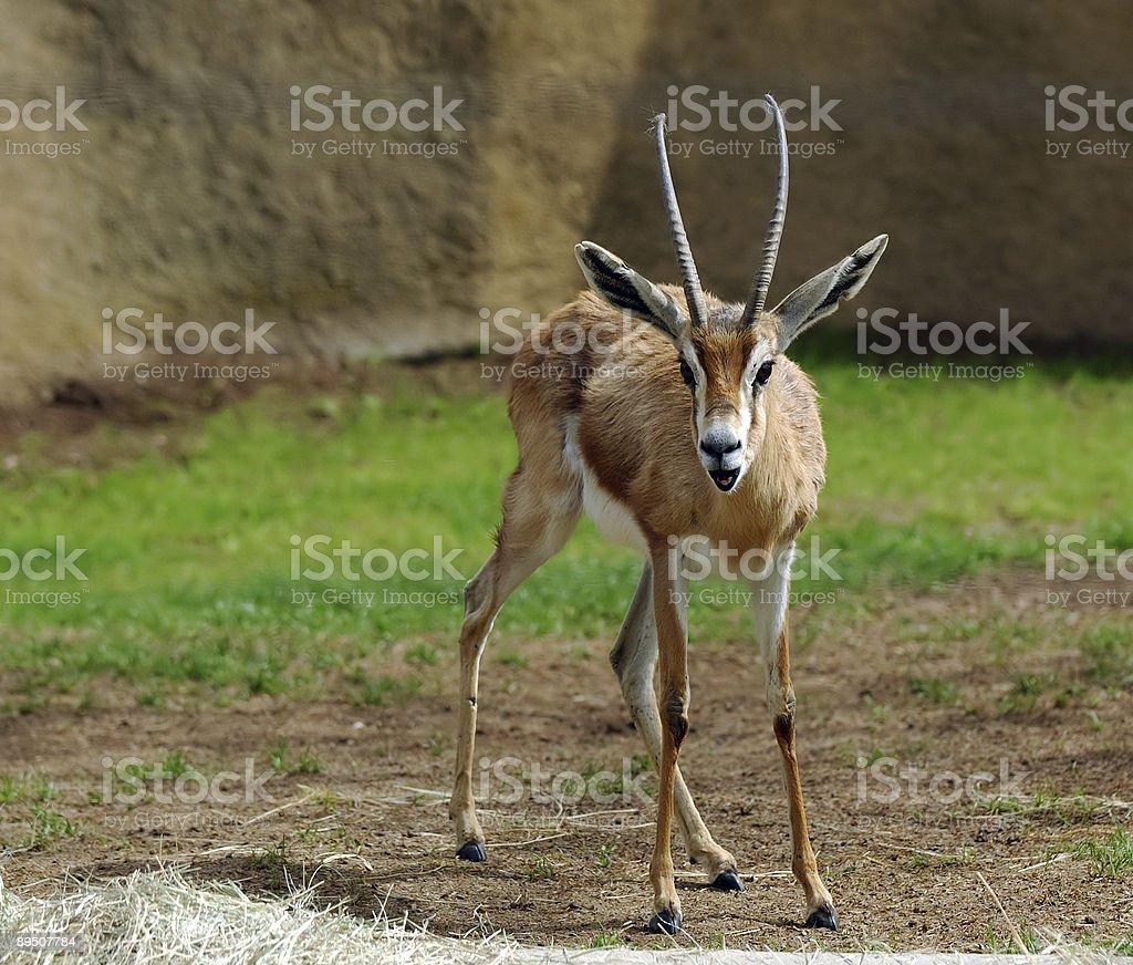 Gazelle - Nanger Dama royalty-free stock photo