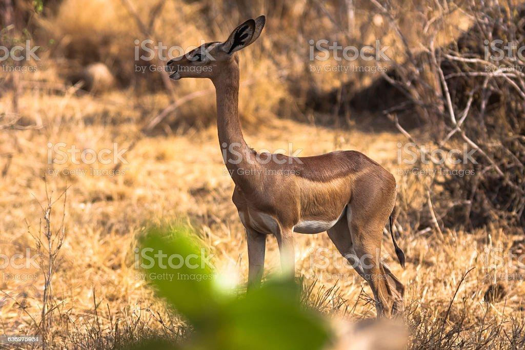 Gazelle near a tree. Samburu, Kenya. stock photo