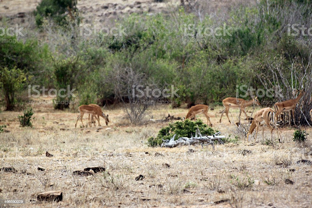 gazelle savannah of the park Tsavo East royalty-free stock photo