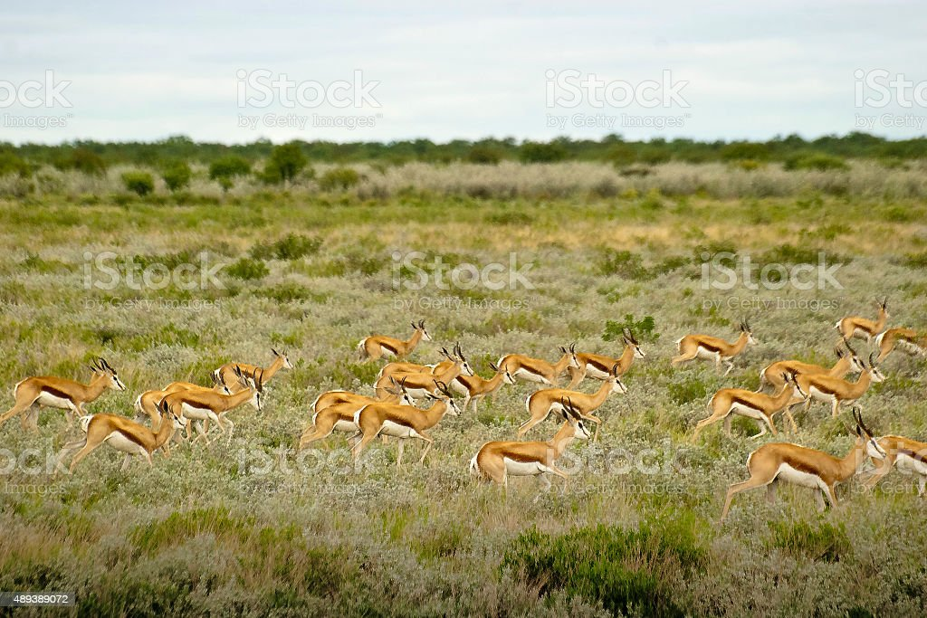 Gazelles on the run stock photo