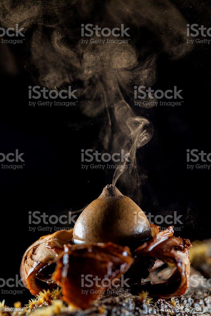 Geastrum fimbriatum expelling spores stock photo