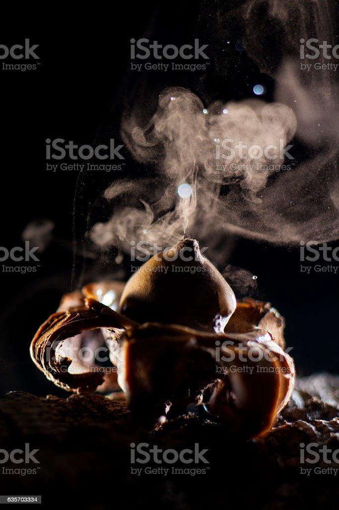 Geastrum fimbriatum expelling spores royalty-free stock photo
