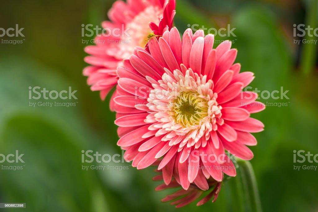 Gebera - rosa Blume – Foto