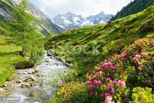istock Gebirgsfluß mit Alpenrosen in den Alpen im Frühjahr 515856010