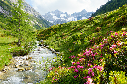 Gebirgsfluß mit Alpenrosen in den Alpen im Frühjahr