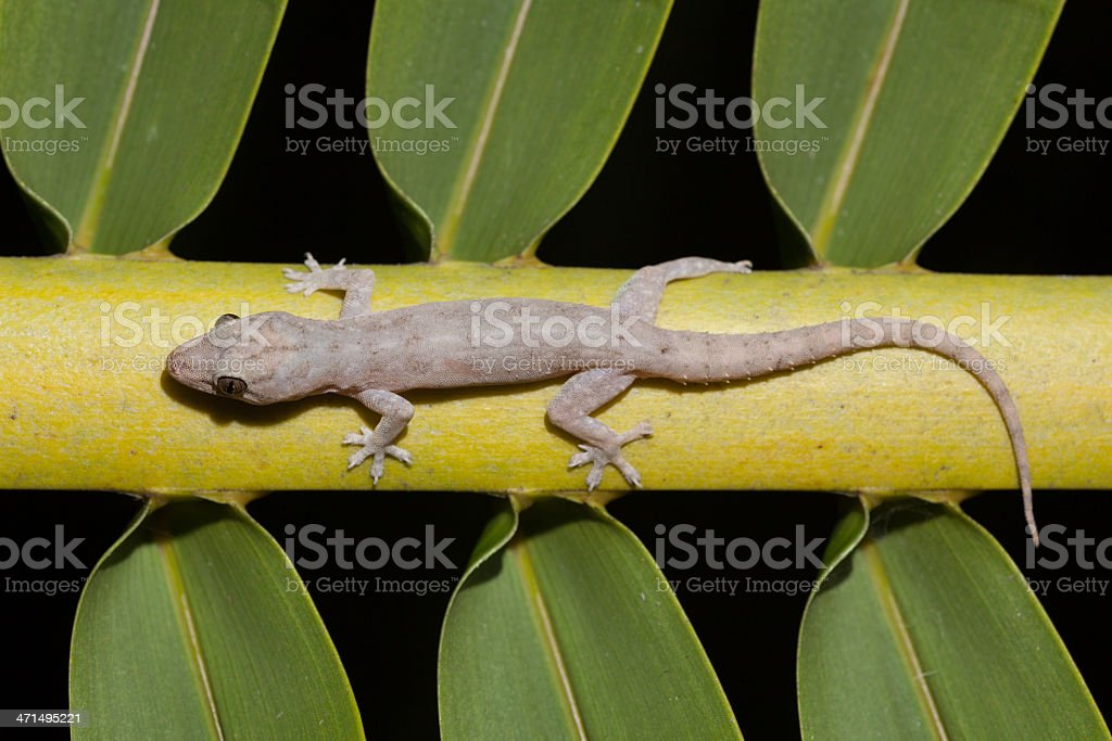 Gecko by Night on Coconut Palm Leaf, Pantar Island, Indonesia royalty-free stock photo