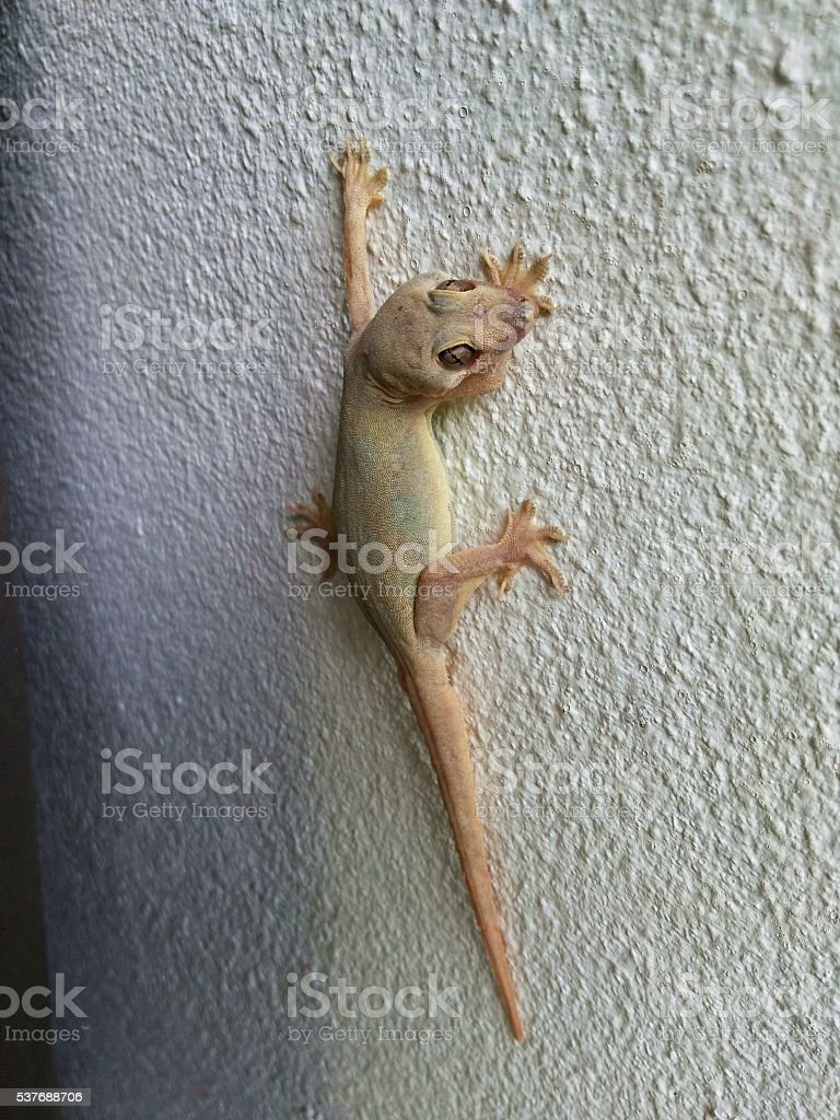 Gecko carcass still stuck on wall stock photo